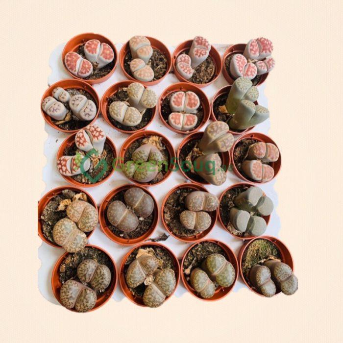 lithops, living stones
