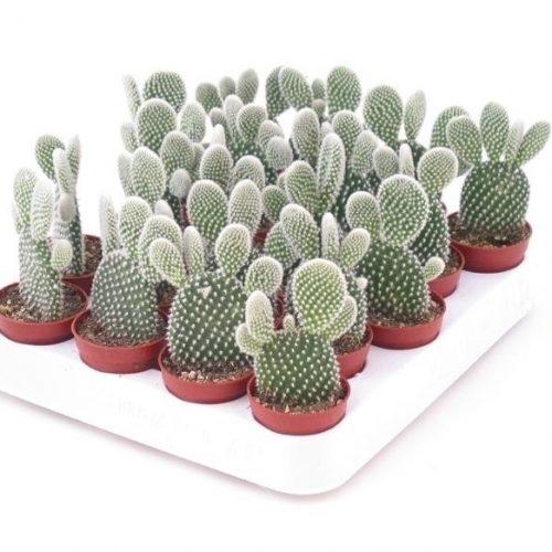"""Cactus Opuntia Mini """"Albata"""" 5-8cm"""