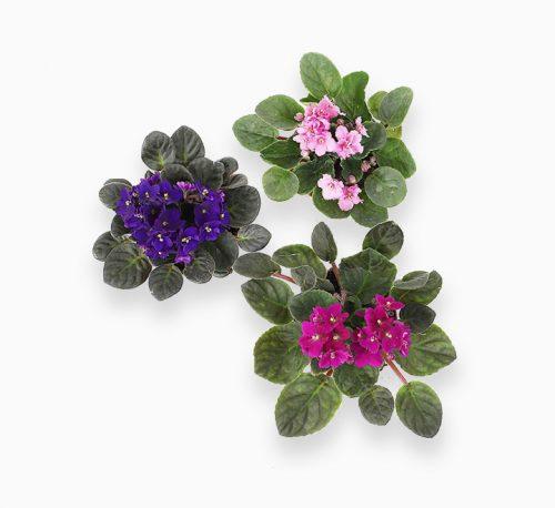 Saintpaulia or African Violets 12 – 15cm