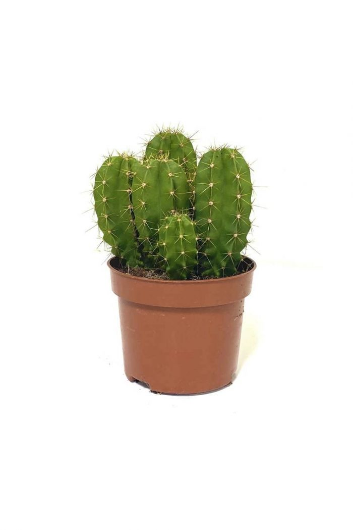 Echino Cactus