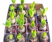 Hyacinth Bulb 1pp