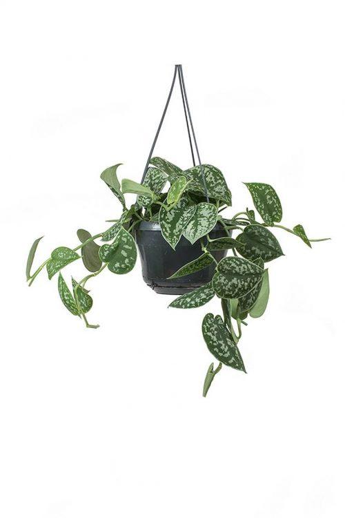 Satin Pothos Hanging