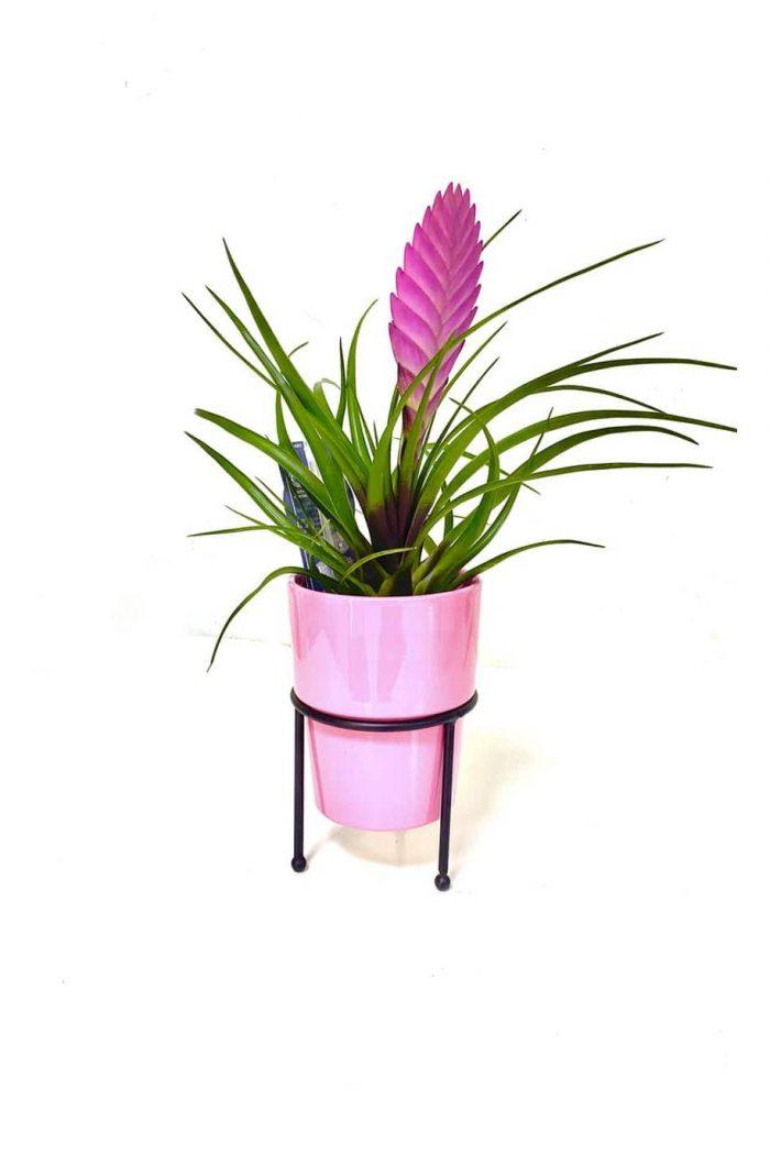Tillandsia Cyanea Pink Quill