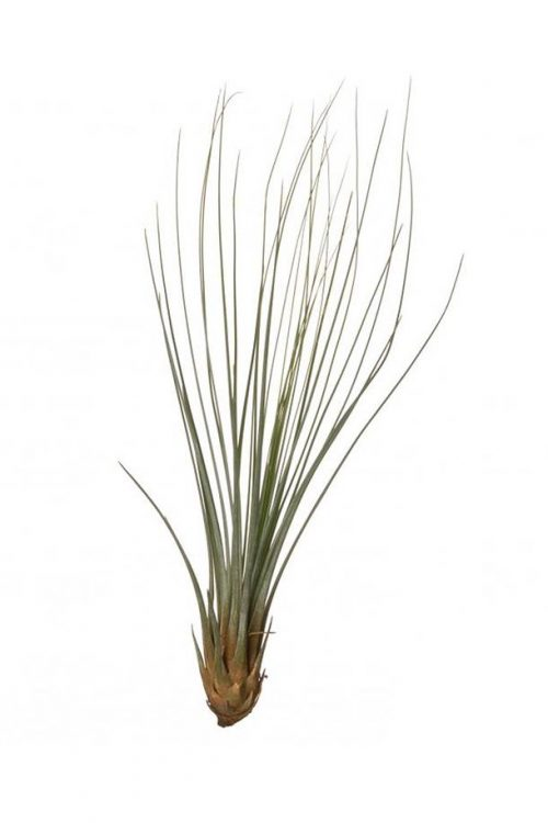 Tillandsia Juncifolia - Air Plant