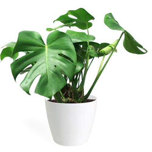 monstera small
