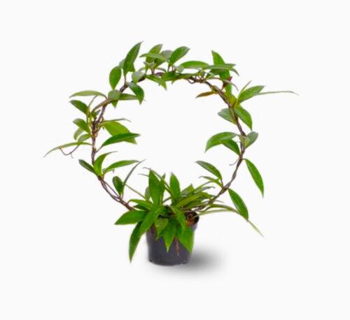 Hoya Publicalyx 25-30cm