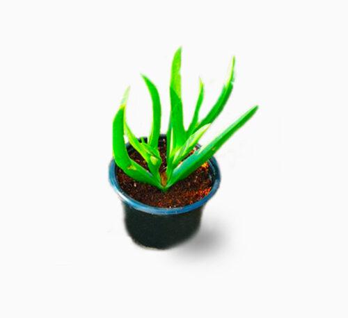 Carpobrotus edulis or Ice Plant 10 -15cm