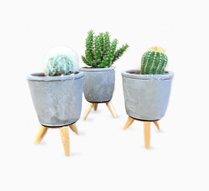 Assorted Cactus in Cement Pot 12-15cm